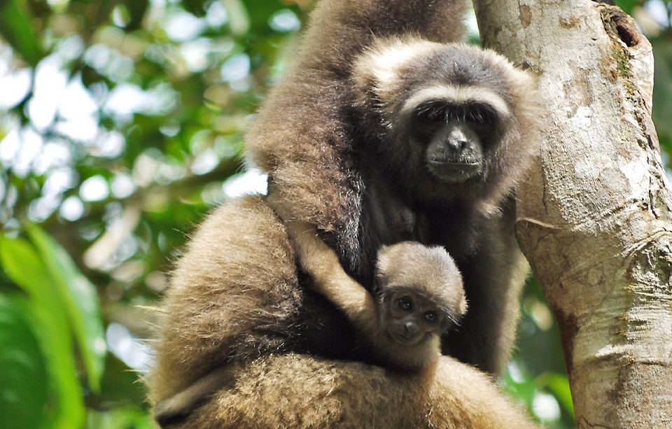 gibbons indonesie